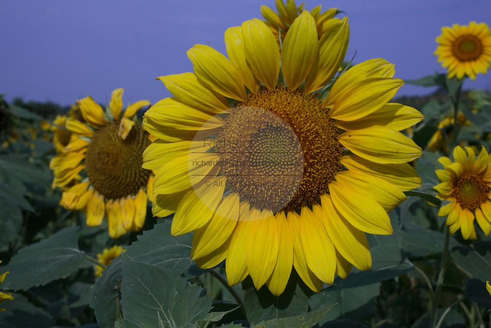 Sunflowers growing in a field in John's Island, SC