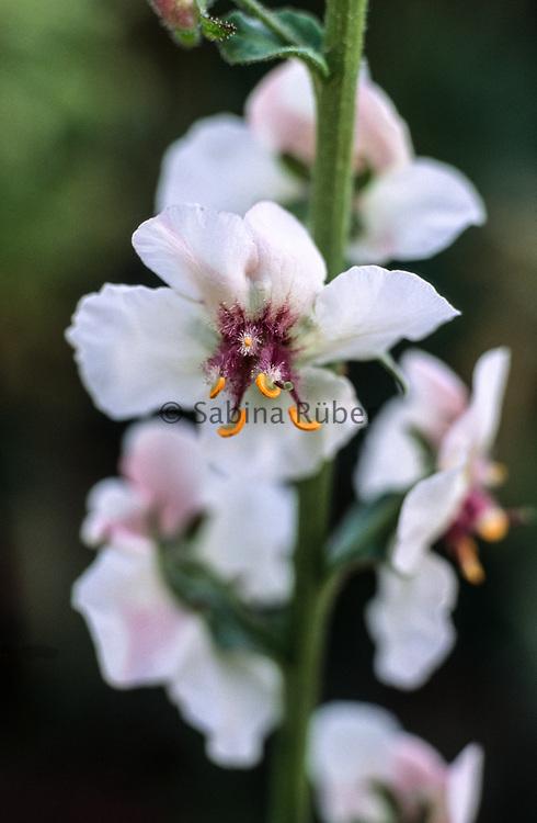 Verbascum blattaria f. albiflorum - white-flowered moth mullein