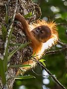 A critically endangered wild Tapanuli orangutan (Pongo tapanuliensis infant climbing in the forest of Batang Toru, Tapanuli District, Sumatra, Indonesia