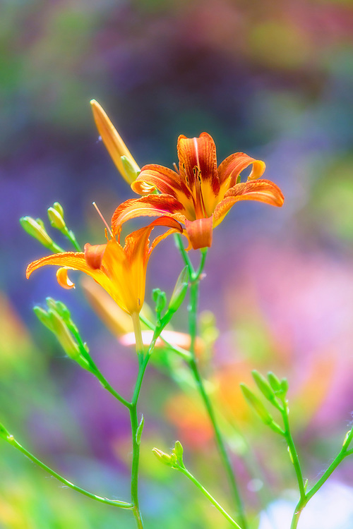 Orange Day Lily Blooms on a Sunny Pastel Backdrop From The Garden