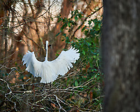 Great Egret perched on a branch with a catfish in Big Cypress Swamp. Image taken with a Nikon Df camera and 400 mm f2.8 lens (ISO 800, 400 mm, f/4, 1/640 sec).