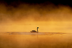 © Licensed to London News Pictures. 07/04/2021. London, UK. A swan looks majestic on a misty pond in freezing conditions at dawn in Bushy Park, south west London. Below zero temperatures overnight have brought frost to some parts of the south. Photo credit: Peter Macdiarmid/LNP