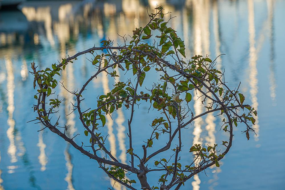 Abstract design of landscaping leaves and sailboat masts, morning light, February, Marina Palmira, La Paz, Baja, Mexico