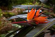 Bird of Paradise flower, Ajijic, Lake Chapala, Jalisco, Mexico