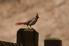 Buntings, Cardinals, Chaffinches, Goldfinches, Crossbills, Honeycreepers, Woodwarblers