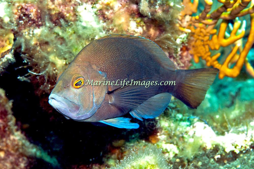 Black Hamlet inhabit reefs in Tropical West Atlantic; picture taken Grand Turk.