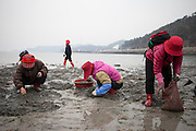 """Women collecting mussels on the open """"Mysterious Sea Road"""" in Hoedong shore (Jindo island). Jindo is the 3rd biggest island in South Korea located in the South-West end of the country and famous for the """"Mysterious Sea Route"""" or """"Moses Miracle"""". Every spring thousands flock to the shores of Jindo to walk the mysterious route that stretches roughly three kilometers from Hoedong to the distant island of Modo. Materializing from the rise and fall of the tides, the divide can reach as wide as forty meters."""