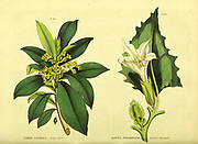 Daphne laureola [Spurge Laurel] Datura stramonium [Common thornapple] from Vol 1 of the book The universal herbal : or botanical, medical and agricultural dictionary : containing an account of all known plants in the world, arranged according to the Linnean system. Specifying the uses to which they are or may be applied By Thomas Green,  Published in 1816 by Nuttall, Fisher & Co. in Liverpool and Printed at the Caxton Press by H. Fisher