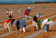 MEXICO, AGRICULTURE, BAJA CALIF. SOUTH Desert farming in the Vizcaino Desert, using plastic to slow evaporation