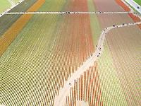 Aerial view of tulips fields in Mount Vernon, Washington, USA.