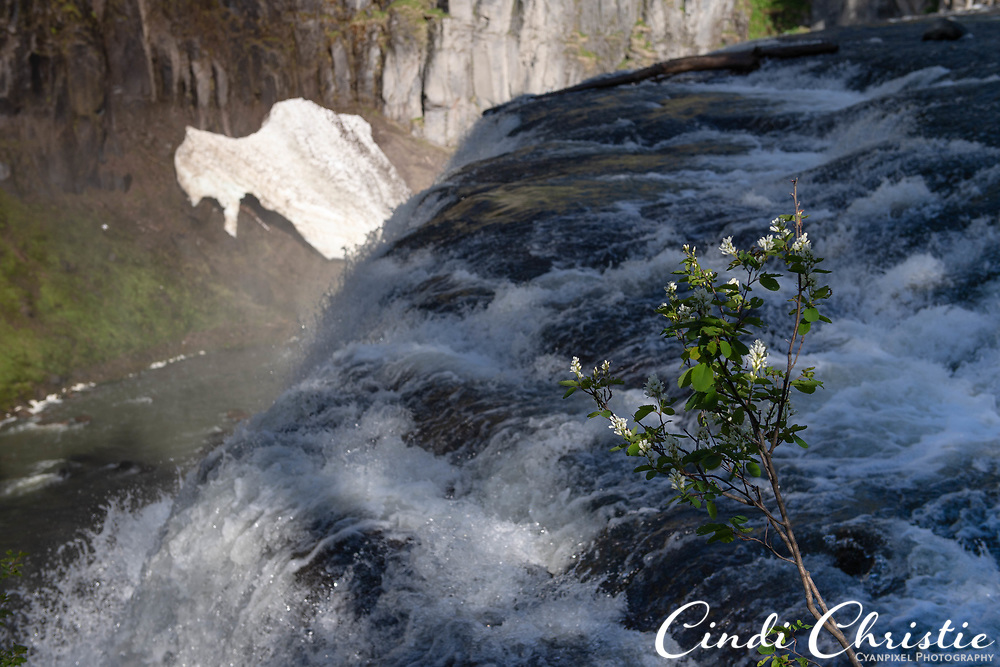 Upper Mesa Falls, on Henry's Fork of the Snake River, plummets 114 feet on Tuesday, June 1, 2021, in the Caribou-Targhee National Forest near Ashton, Idaho. A bush loaded with white flowers competes for attention. (© 2021 Cindi Christie/Cyanpixel)