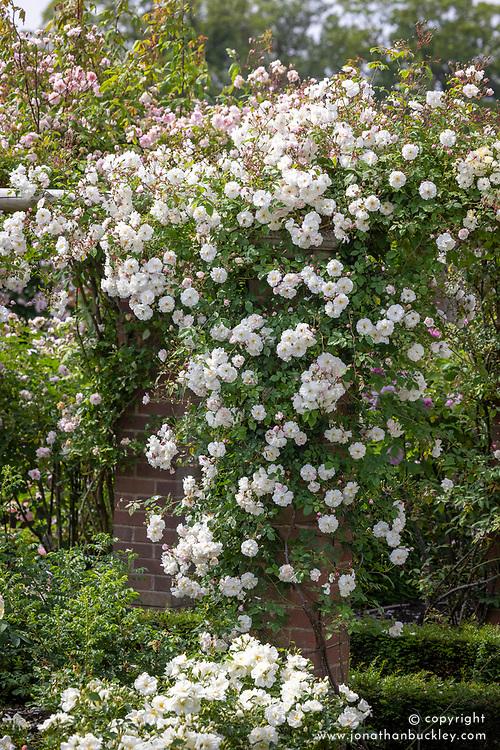 Rosa 'Adélaïde d'Orléans' growing on a pergola