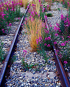 Fireweed blooming on narrow guage railway bed of the White Pass and Yukon Route near Lake Bennett, Carcross, Yukon Territory, Canada.