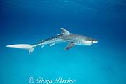 juvenile tiger shark, Galeocerdo cuvier, with tag from University of Miami research, Bimini, Bahamas ( Western Atlantic Ocean )