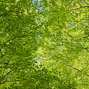 Fresh leaves in different tints of green
