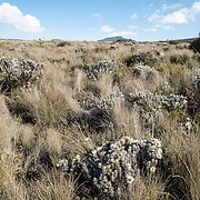 Everlastings (Helichrysum) amongst the grasses in the heath zone of Mt Kilimanjaro.
