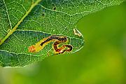 Leaf miner moth larvae (Stigmella sp) mine on oak tree leaf. Niedersechsische Elbtalaue Biosphere Reserve, Elbe Valley, Lower Saxony, Germany, | Die Miniermotte (Stigmella sp.) gehört zu den Gangminierern. Sie frisst das Innere der Blattfläche, wobei sie die Hauptadern sowie die obere und untere Zellschicht stehen lässt.
