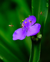 Hoverflies on a Blue Spiderwort Flower. Image taken with a Fuji X-H1 camera and 80 mm f/2.8 macro lens
