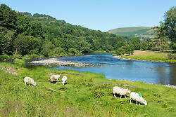 © Licensed to London News Pictures.15/07/2021. Builth Wells, Powys, Wales, UK. Sheep graze by the River Wye on a hot sunny day at Builth Wells in Powys, Wales, UK. Photo credit: Graham M. Lawrence/LNP