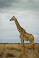 A Giraffe in the Masai Mara National Park, Kenya