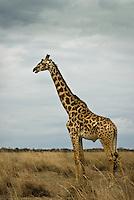 A Giraffe in the Masai Mara National Park, Kenya