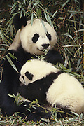 Giant Panda nursing baby<br />