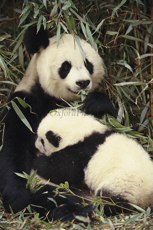 Giant Panda nursing baby<br />Ailuropoda  melanoleuca<br />Wolong Valley, CHINA<br />RANGE: Central China