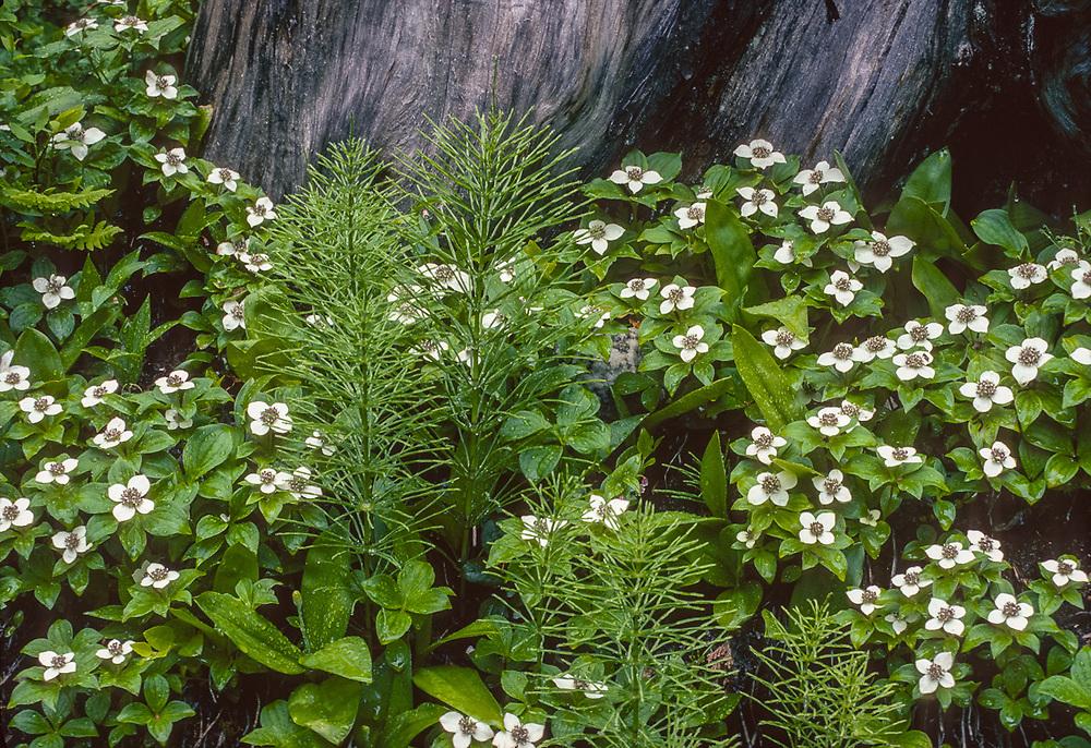 Bunchberry (Cornus canadensis), Olympic National Park, Washington, USA