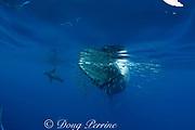 Bryde's whale, Balaenoptera brydei or Balaenoptera edeni, feeding on baitball of sardines, Sardinops sagax, off Baja California, Mexico ( Eastern Pacific Ocean ); California sea lion and striped marlin in background