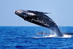 humpback whale calf, breaching, .Megaptera novaeangliae, .Hawaii (Pacific).