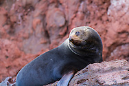 A male Guadalupe Fur Seal hauled out at San Pedro Martir, Baja, Mexico