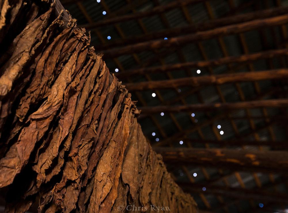 Tobacco hanging to dry, Pinar del Rio, Cuba
