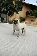 Pug dog standing, panting. Trogir, Croatia