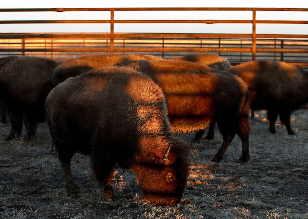 Genetically pure Bison are released Saturday evening into pens on land owned by the Crane Trust Nature and Visitor Center. The 39 genetically pure bison came from the RimRock Ranch near Crawford, Neb., and will live on Shoemaker Island. (Independent/Matt Dixon)