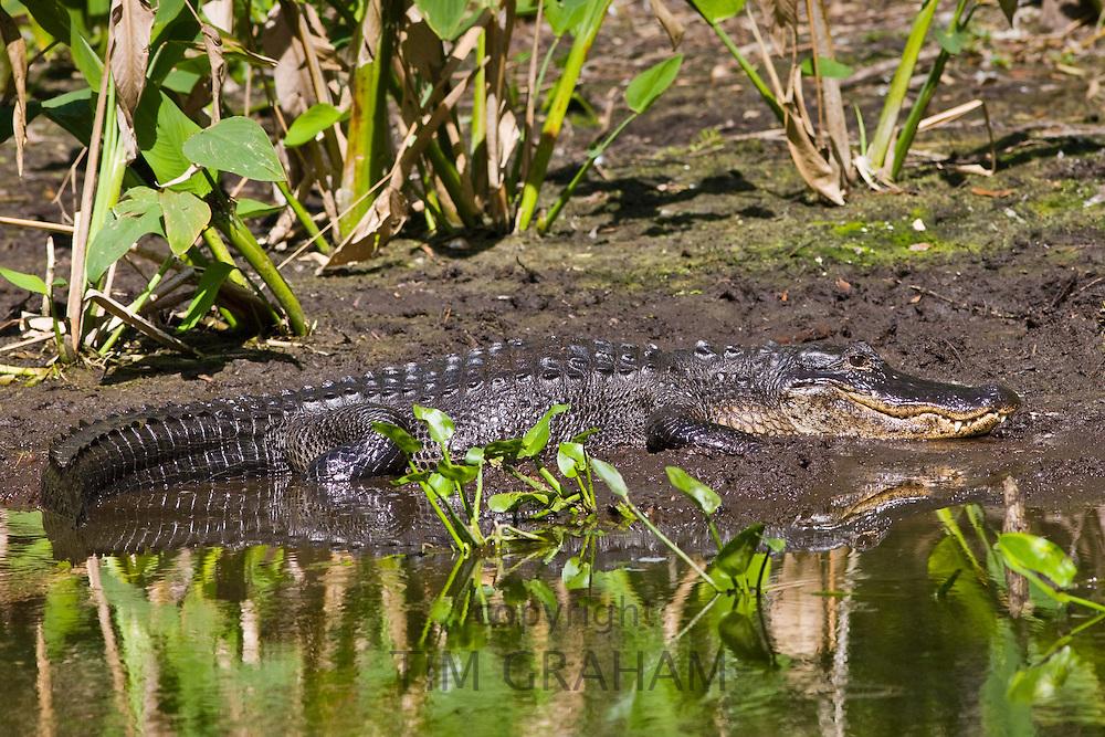Alligator at Fakahatchee Strand Preserve State Park, the Everglades, Florida, United States of America
