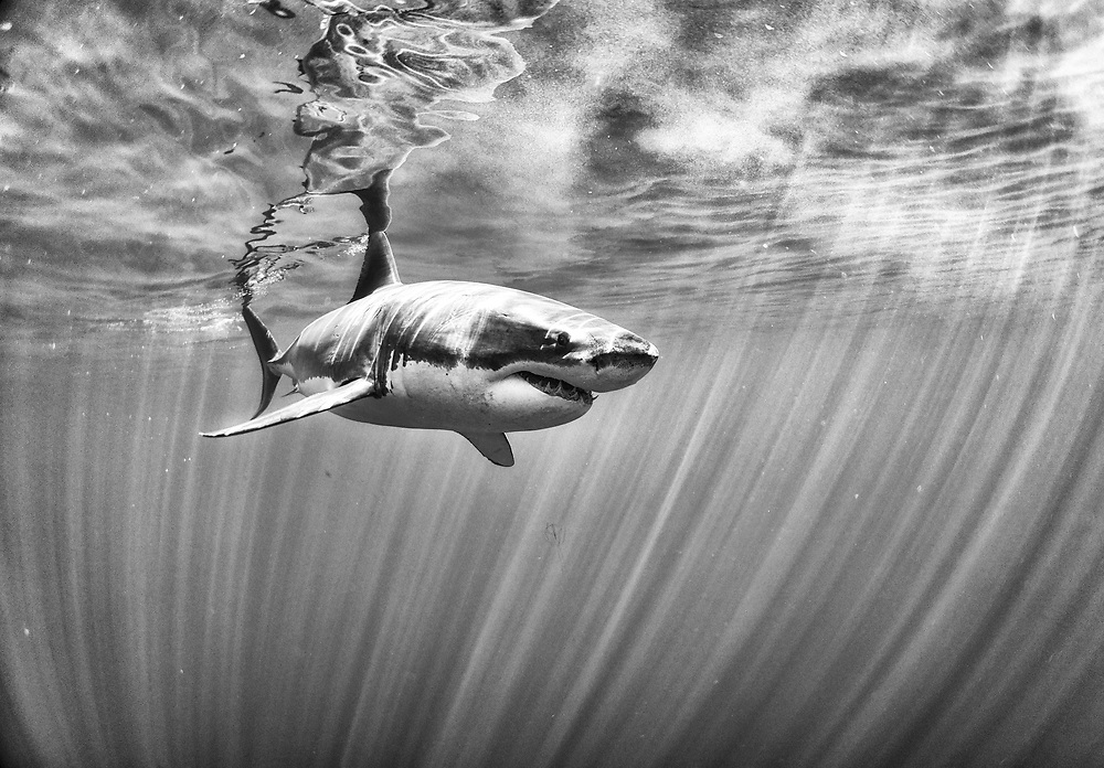 The great white shark from Guadalupe, México.