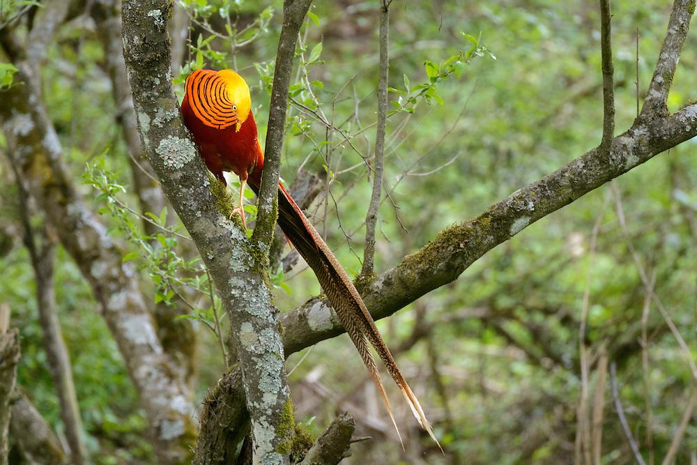 雄性红腹锦鸡在树上求偶,唐家河自然保护区,四川,中国。Male golden pheasant, Tangjiahe Nature Reserve, Sichuan, China.