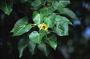 Milo tree with flower, Hawaii<br />