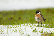 Whinchat (Saxicola rubetra) a small migratory passerine bird that breeds in Europe and western Asia and winters in Africa. Photographed in, Israel in January