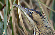 Close up of Bittern (Botaurus stellaris) head. View from WWF Hide at the London Wetland Centre on Wednesday 22nd March 2006. Image shot through glass window of hide.