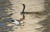 Male Common Merganser, Mergus merganser, in transition to breeding plumage, swimming with Double-crested Cormorant, Phalacrocorax auritus, on Lake Ewauna, Oregon