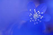 Liverwort (Anemone hepatica), Sweden.