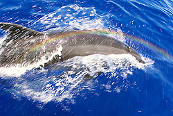 Wild Bottlenose Dolphins, Tursiops truncatus, bow-riding, rainbows over spout, off Kona Coast, Big Island, Hawaii, Pacific Ocean