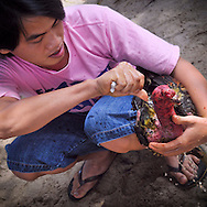 A young vietnamese man takes care of his rooster before a fight organized by gamblers in Cam Ranh, Vietnam, Southeast Asia