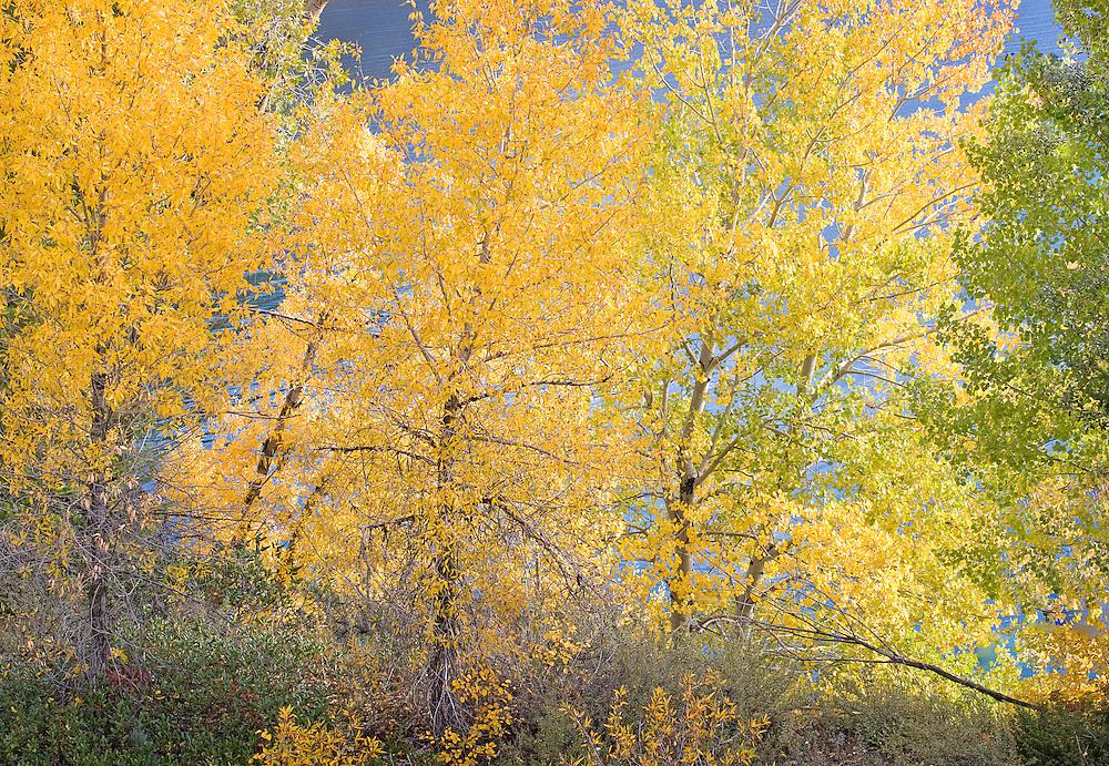 Brilliant Autumn Trees Along Lakeshore, Swan Valley, Idaho