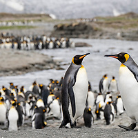 King penguins walks in a giant breeding colony at Saint Andrews Bay on the north coast of South Georgia Island.
