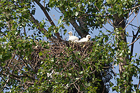 Kaiseradler-Küken im Nest, Aquila heliaca, Ost-Slowakei / Eastern Imperial Eagle, chicks in the nest, Aquila heliaca, East-Slovakia