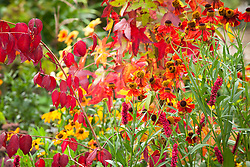 Autumnal combination of Liquidambar styraciflua 'Slender Silhouette' AGM with Helenium 'Moerheim Beauty' AGM, Persicaria amplexicaulis 'Fat Domino'  and Euonymus oxyphyllus AGM