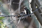 Photograph of a hummingbird at Desert Trails in AZ