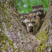 A full set of three raccoon (Procyon lotor )kits vying for position as they peer down with curiosity from a tree perch. Photographed on nature preserve at Ohio Bird Sanctuary.